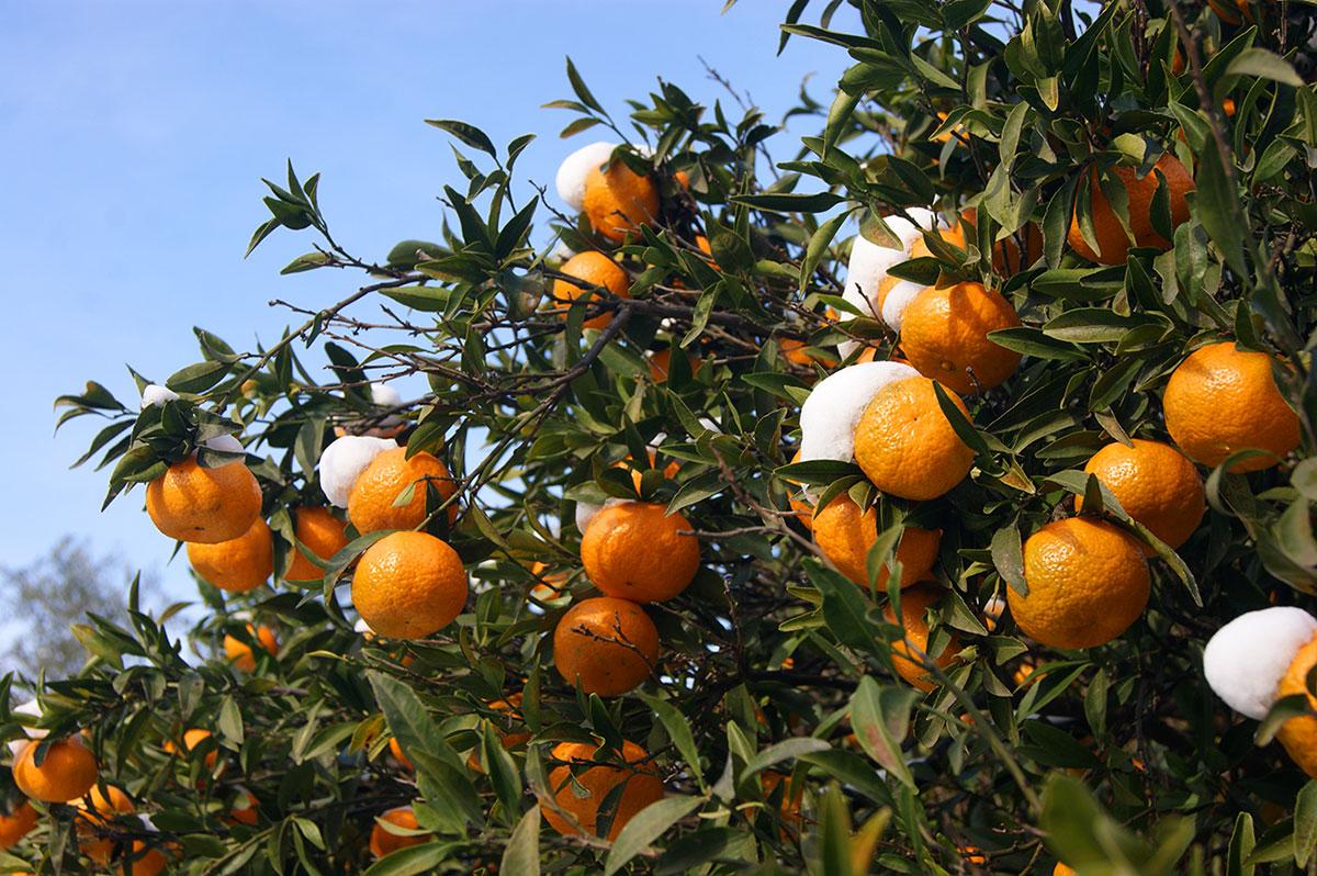 мандарины-на-сицилии-в-снегу