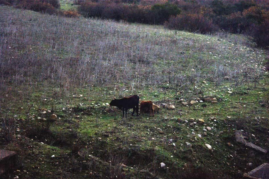 коровы сицилии