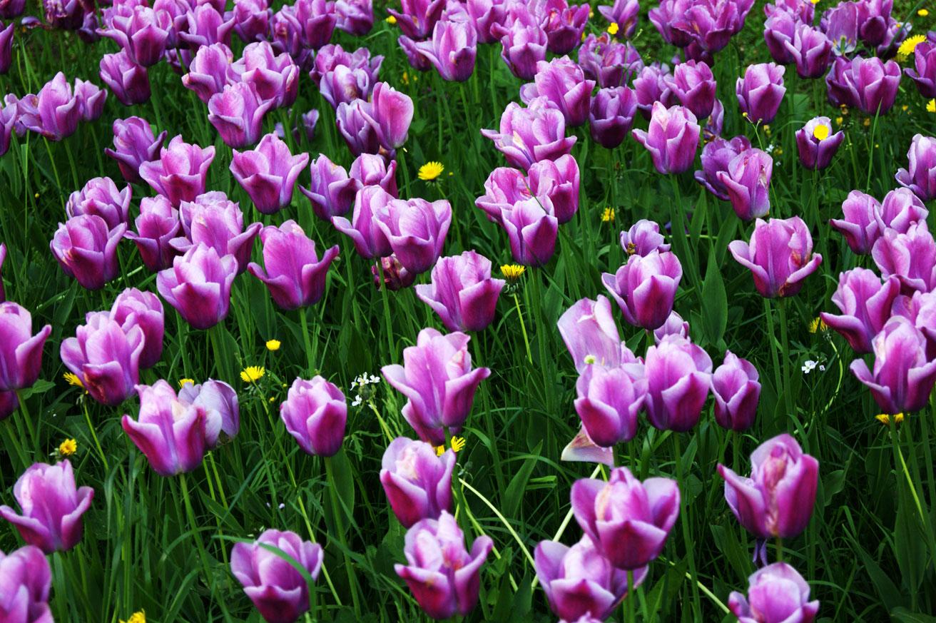 тюльпаны в Петергофе