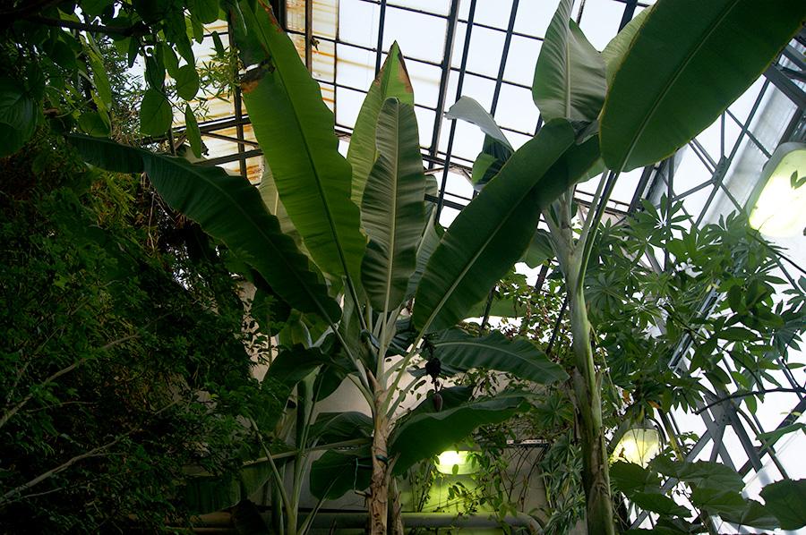 016_botanicheskiy-sad-petra-velikogo-banan