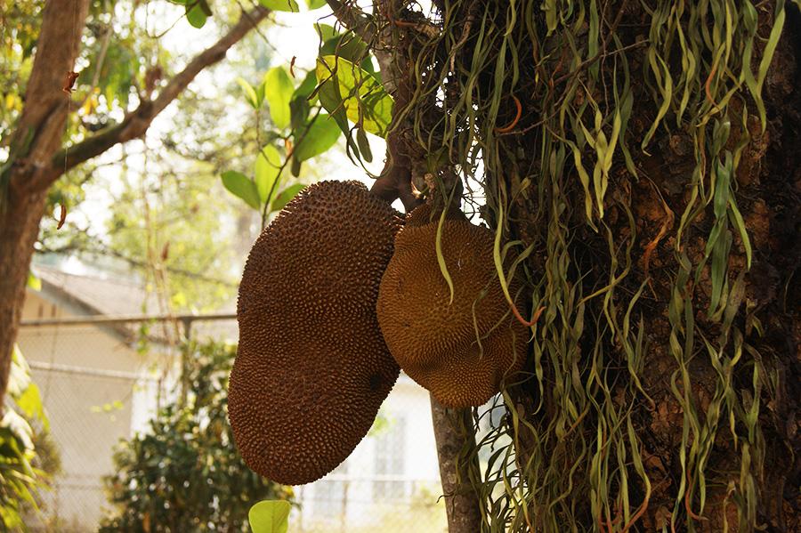 Хлебное дерево в Луанг-Прабанге, Лаос