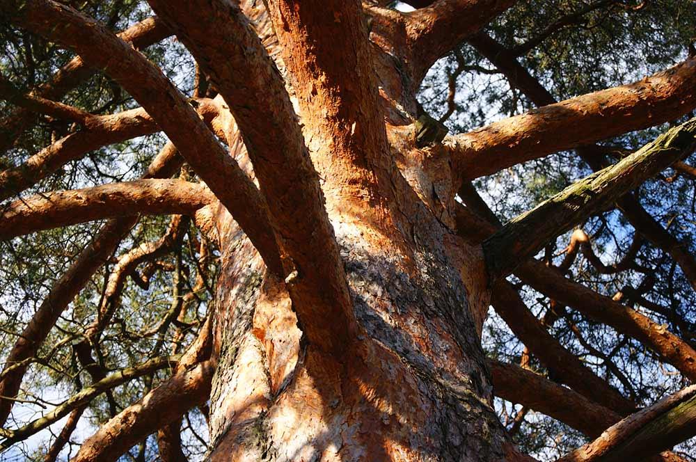 дерево-рыжее
